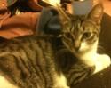 Ivanhoé chaton hyper câlin et attachant né le 9 avril 2013 (adopté par sandrine59 ) Img_1716