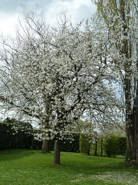le cerisier en fleurs 00211