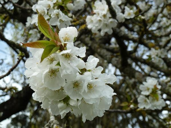 le cerisier en fleurs 00710