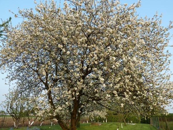 le cerisier en fleurs 03910