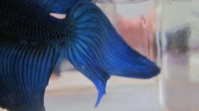 Nageoire caudale de Blue Img_6213