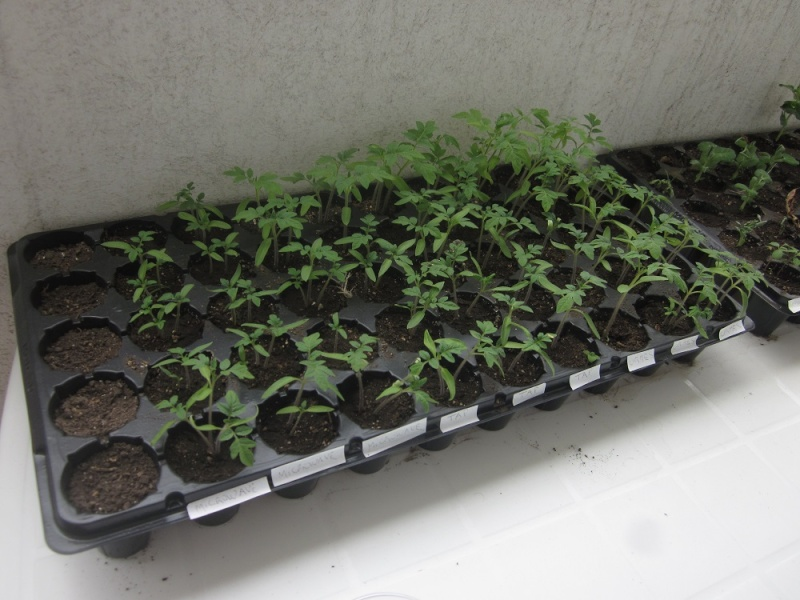 ORMEs Water (Magnetic Trap) on Tomatoes Cherry 13a-to10