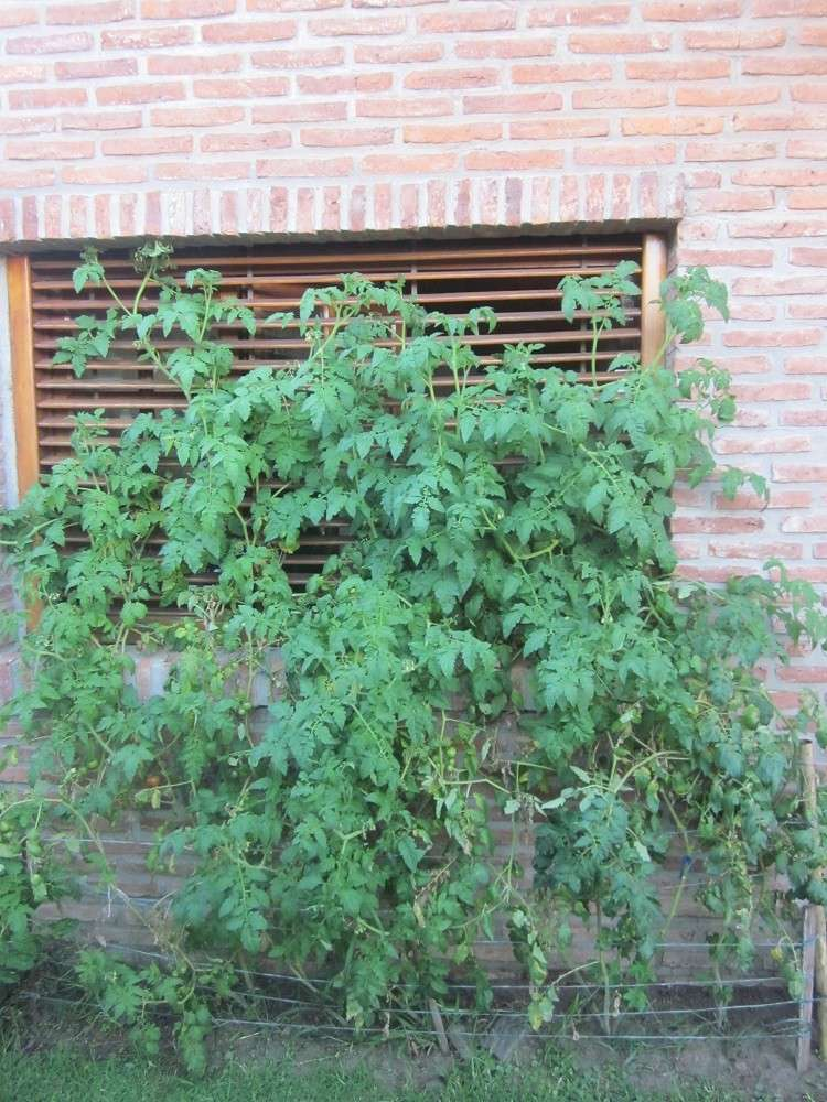 ORMEs Water (Magnetic Trap) on Tomatoes Cherry 16a-to10