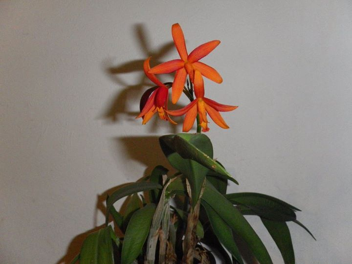 Cattleya Lc. Thai Glow Orchid15