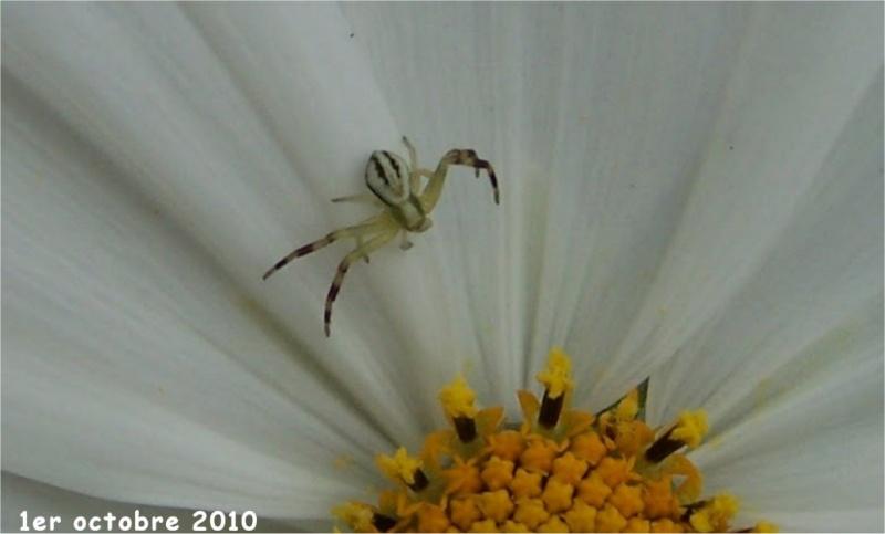 Misumena vatia mâle Araign17