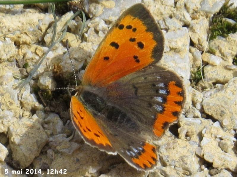 papillon cuivré commun rue de La Hunaudaye aux Villages  Cuivra10