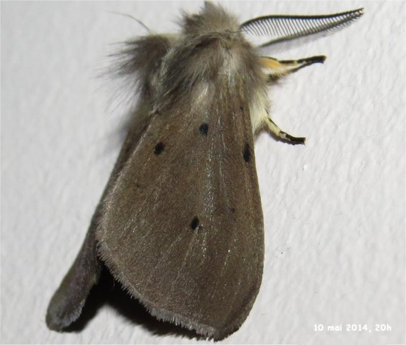 papillon de nuit de la famille des Erebidae (Diaphora mendica) rue de La Hunaudaye aux Villages  Papill18