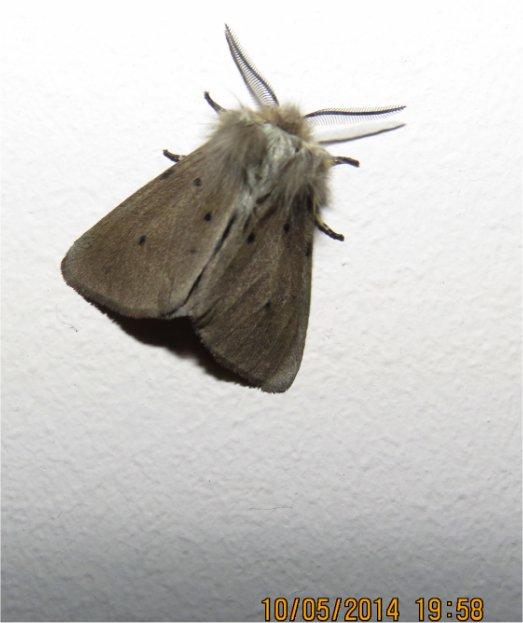 papillon de nuit de la famille des Erebidae (Diaphora mendica) rue de La Hunaudaye aux Villages  Papill19