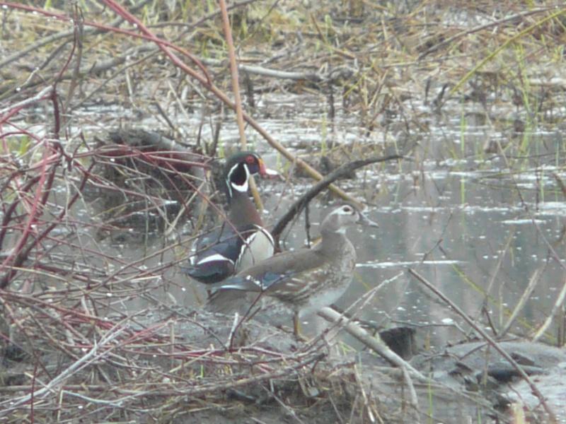 Un couple de canard branchu !! P1020010