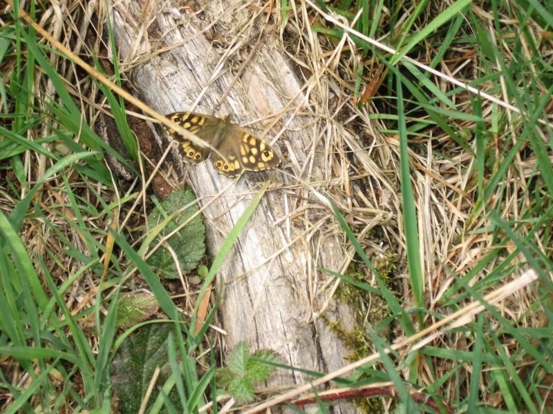 Pararge aegeria - Tircis (& 1 as du camouflage à ident.) Img_6520