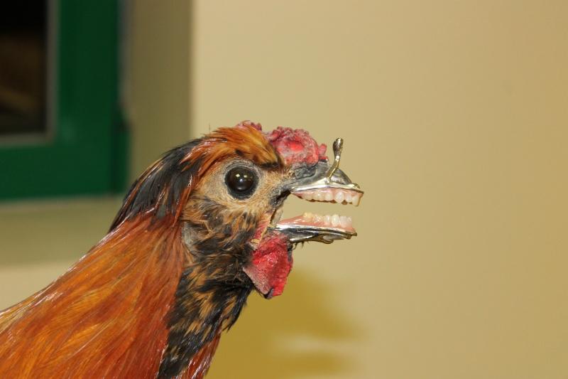 Quand les poules auront des dents!!! Img_0610