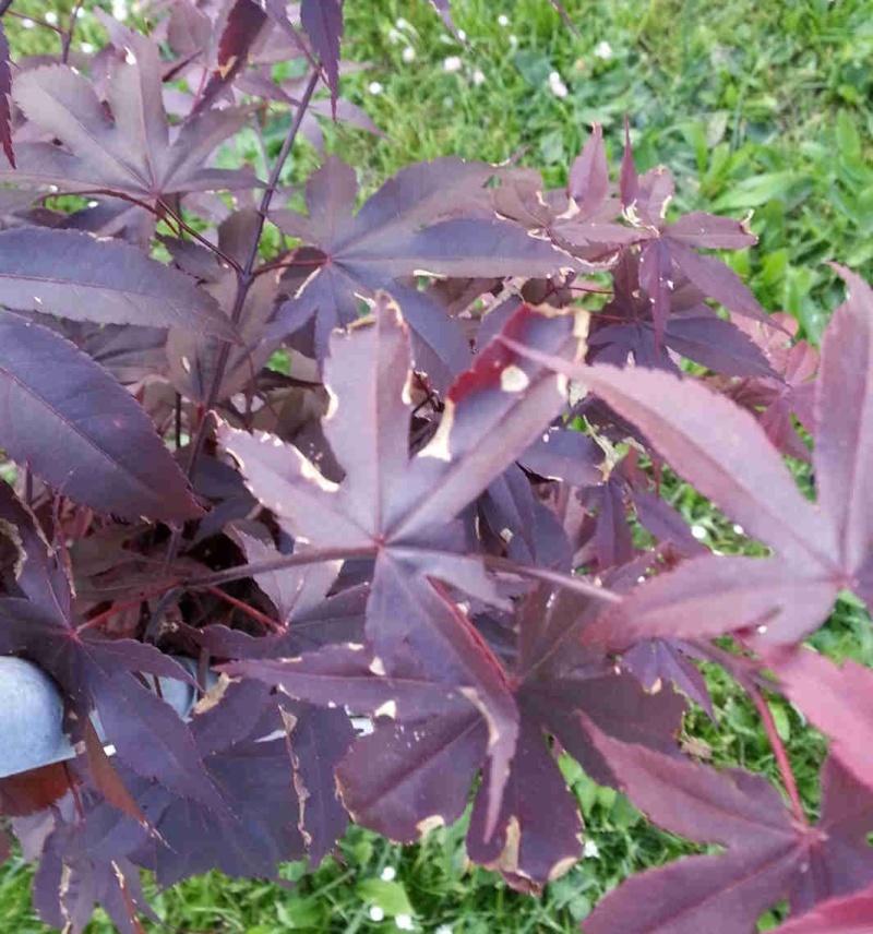 Foglie Acer palmatum bloodgood A14