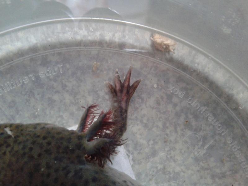 Problème avec mon axolotl ! 20140515