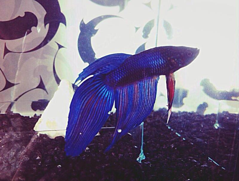 Betta et poisson de fond 10342910