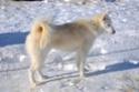 Victory femelle chien de traîneaux des indiens et chien de tête  Image26