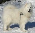 Winter - Mâle  chien de traîneau des indiens Image28