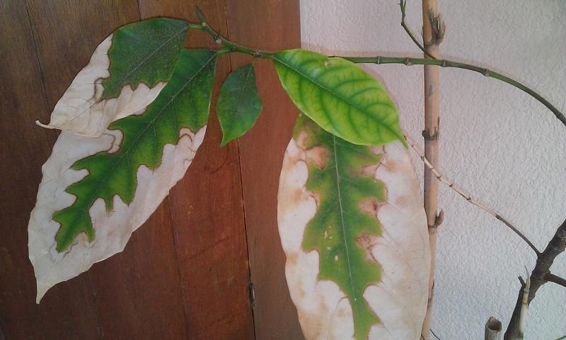 Artocarpus heterophyllus (jacquier) malade Wp_20111