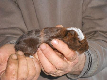 cochon d'inde géant ( cuy) Obalix13