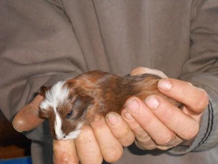 cochon d'inde géant ( cuy) Obalix16