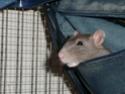 Présentation de mes 3 ratounes P1690910