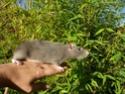 Présentation de mes 3 ratounes P1700111