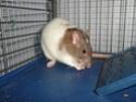 Présentation de mes 3 ratounes P1720710
