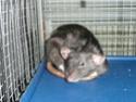 Présentation de mes 3 ratounes P1720711