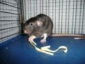 Présentation de mes 3 ratounes P1720712
