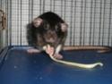 Présentation de mes 3 ratounes P1720713