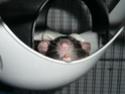Présentation de mes 3 ratounes P1720714