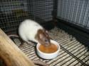 Présentation de mes 3 ratounes P1730010