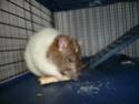 Présentation de mes 3 ratounes P1730310
