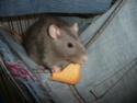Présentation de mes 3 ratounes P1730311