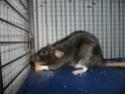 Présentation de mes 3 ratounes P1730312