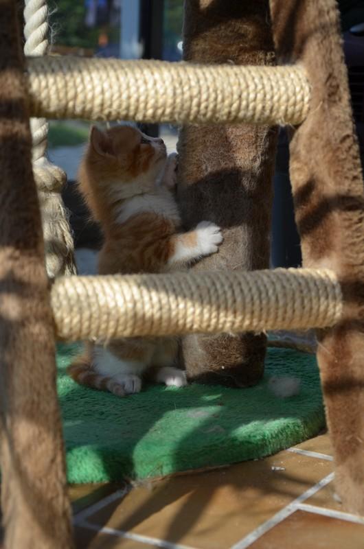 Jules chaton roux et blanc né le 11/04/2014 Dsc_7915