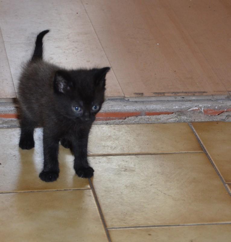 Jameson, chaton noir né le 11/04/2014 Dsc_7916