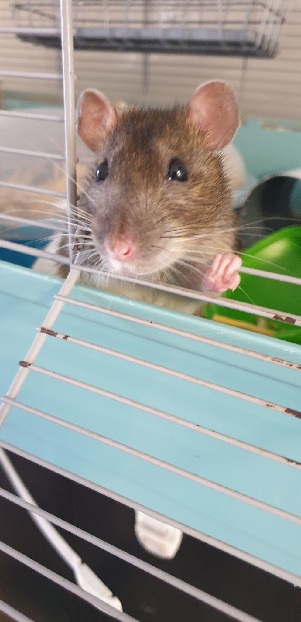 Recherche FA ou adoptants pour deux mamies ratounes de 2 ans et demi 11876510