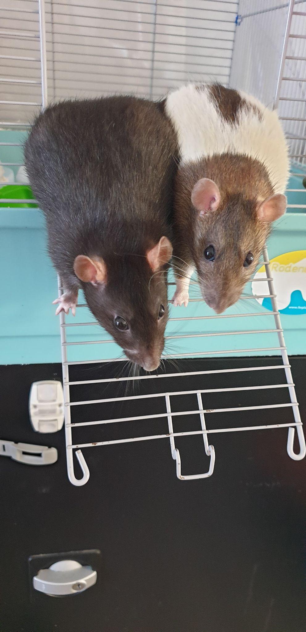 Recherche FA ou adoptants pour deux mamies ratounes de 2 ans et demi 11876511