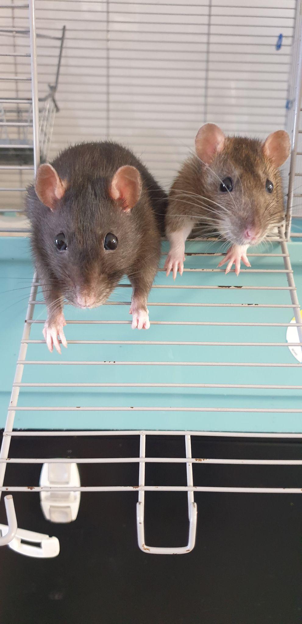 Recherche FA ou adoptants pour deux mamies ratounes de 2 ans et demi 11876810