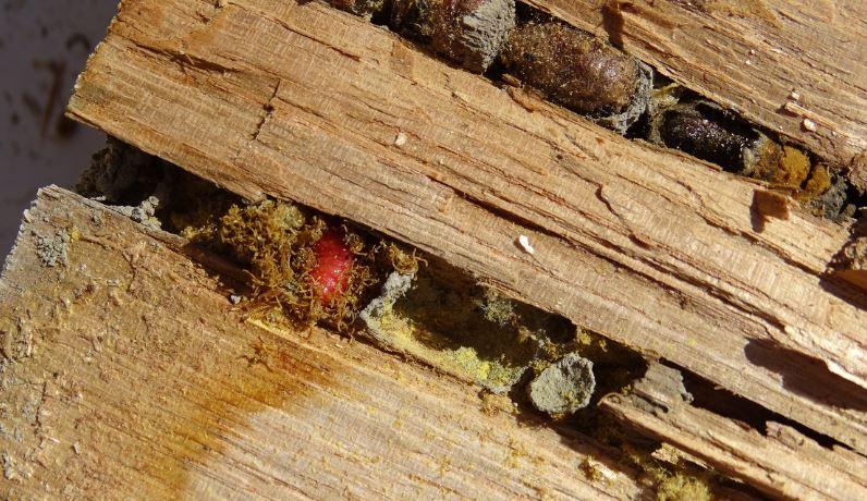 [Osmia cornuta] et hôtels pour insectes. et naissance ... 210