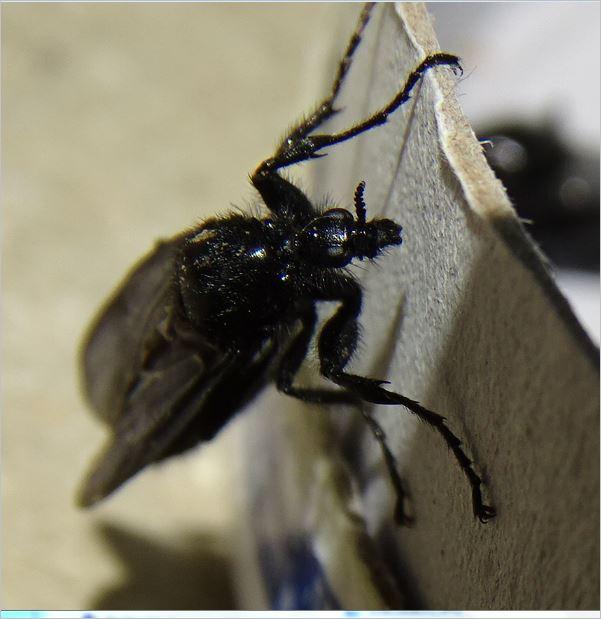Bibio marci dans une fourmilière à Lipsheim 67 212