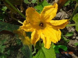 Fleur de courgettes habitée par de petits inconnus en Alsace Dsc00232