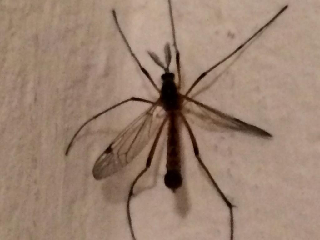 [Tipulidae Ctenophorinae] Insectes se montrant à l'intérieur  Img_1810