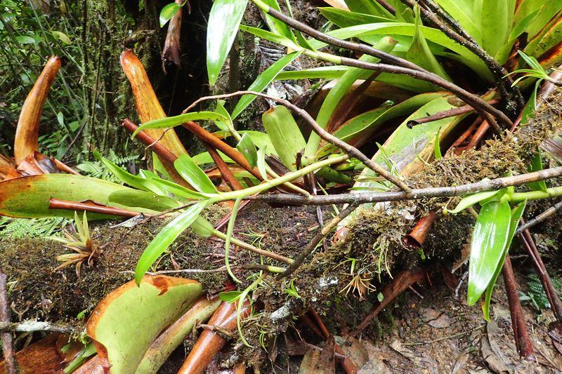 Orchidées du Sud-Est de L'Équateur (juillet-Aout 2021) Dsc_0040