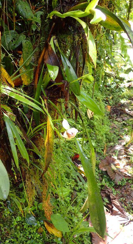 Orchidées du Sud-Est de L'Équateur (juillet-Aout 2021) Dsc_0044
