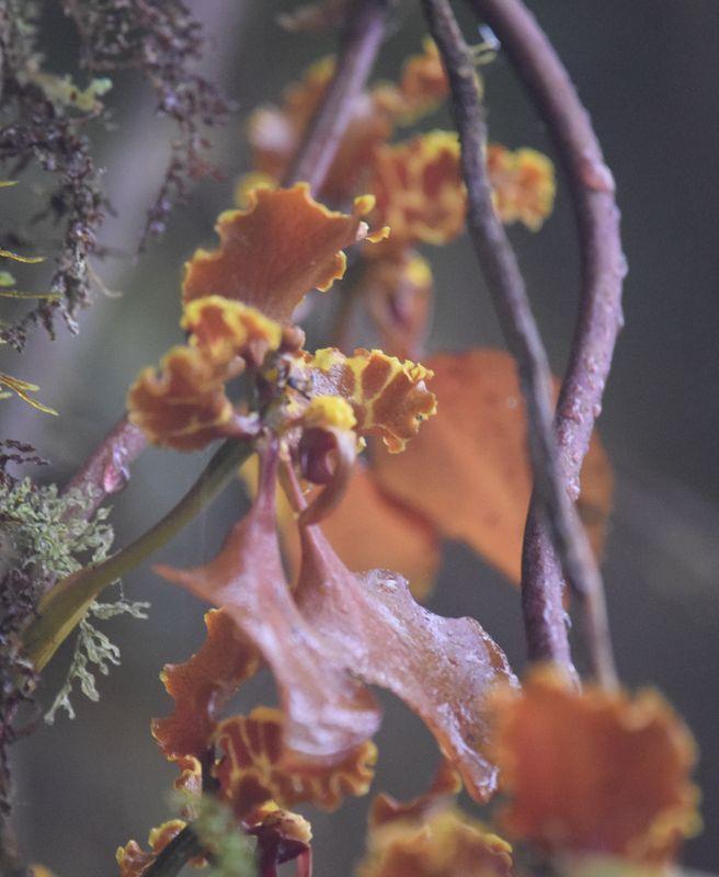 Orchidées du Sud-Est de L'Équateur (juillet-Aout 2021) Dsc_0054