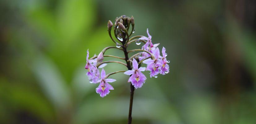 Orchidées du Sud-Est de L'Équateur (juillet-Aout 2021) Dsc_0058