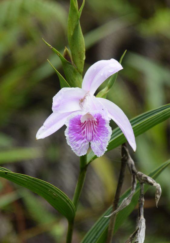 Orchidées du Sud-Est de L'Équateur (juillet-Aout 2021) Dsc_0064