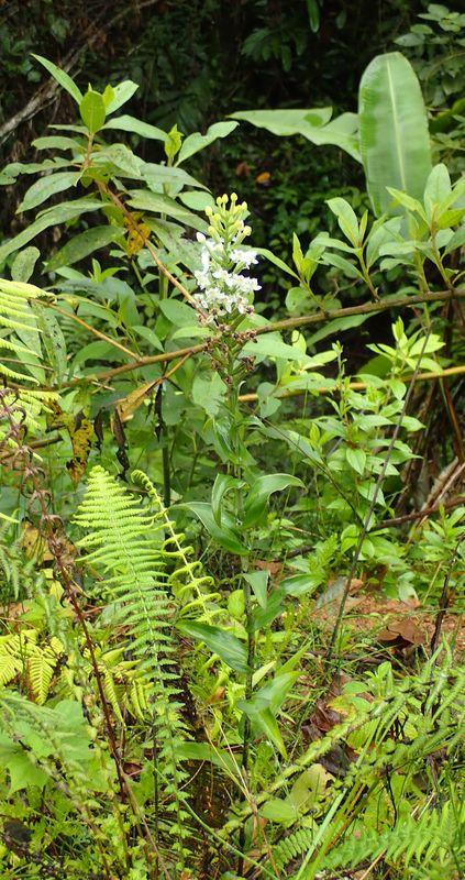 Orchidées du Sud-Est de L'Équateur (juillet-Aout 2021) Dsc_0065