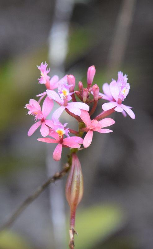 Orchidées du Sud-Est de L'Équateur (juillet-Aout 2021) Dsc_0074